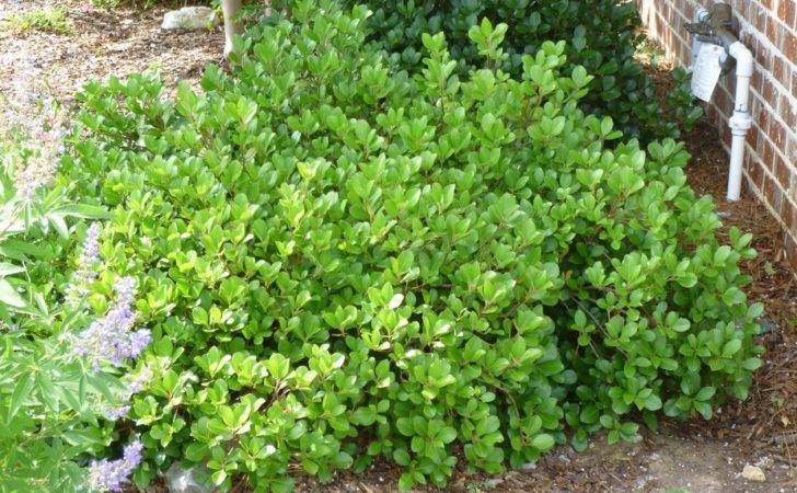 Aaron Help Wanted Best Quick Privacy Screening Shrubs Zone