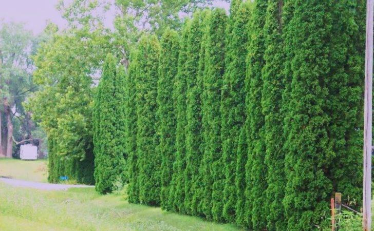 American Arborvitae Thuja Orientalis