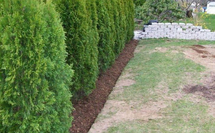 Arborvitae Hedge Landscaper Newington