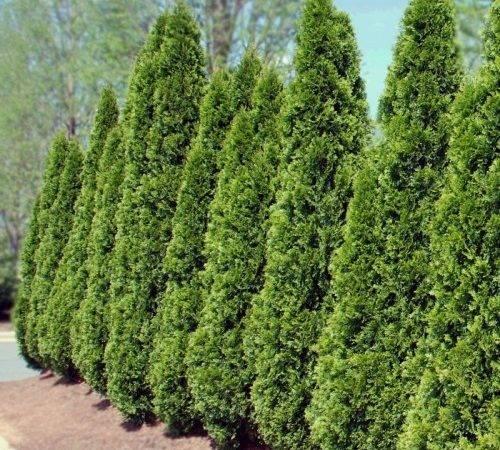 Arborvitae Landscape Trees Eugene Living Concepts