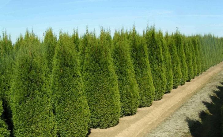 Arborvitae Landscaping Emerald Green