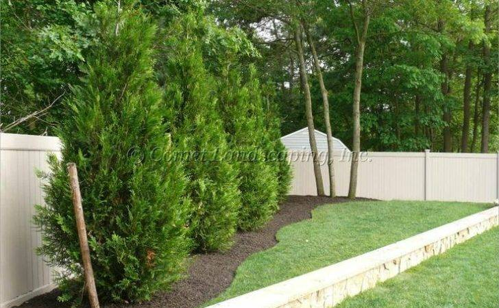 Arborvitae Landscaping Green Giant