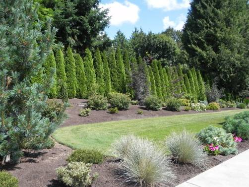 Arborvitae Landscaping Hedge Sublime