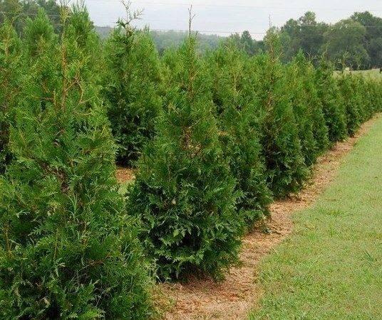 Arborvitae Landscaping Pinterest