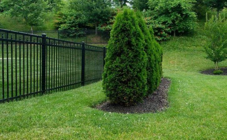 Arborvitae Landscaping Trees Regrow Their
