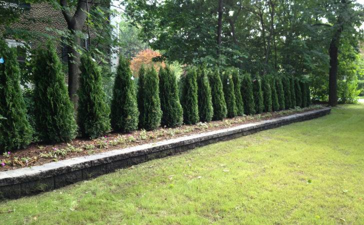 Arborvitae Landscaping Wall Arborvitaes Give