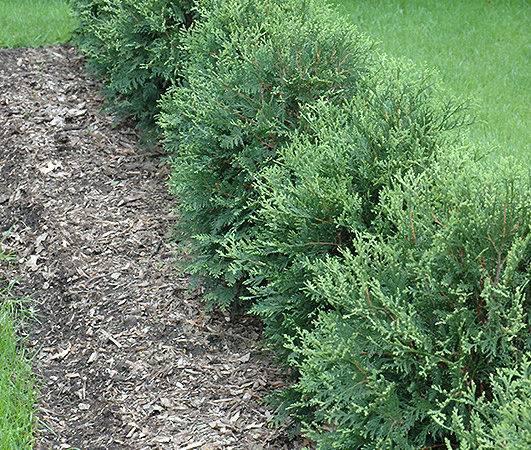 Arborvitae Thuja Occidentalis Bailjohn Bachman Landscaping