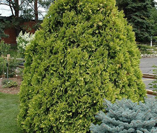Arborvitae Thuja Occidentalis Sunkist Jim Melka Landscaping