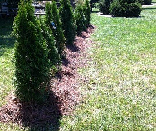 Arborvitae Trees Landscaping Pinterest