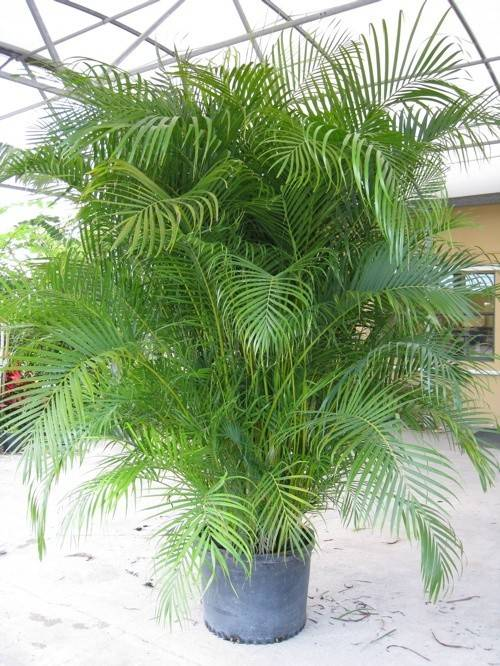 Areca Palm Not Much Person But Love These Small