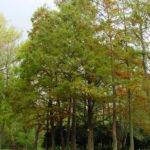 August Headline News Consider Bald Cypress Your Landscape Htm