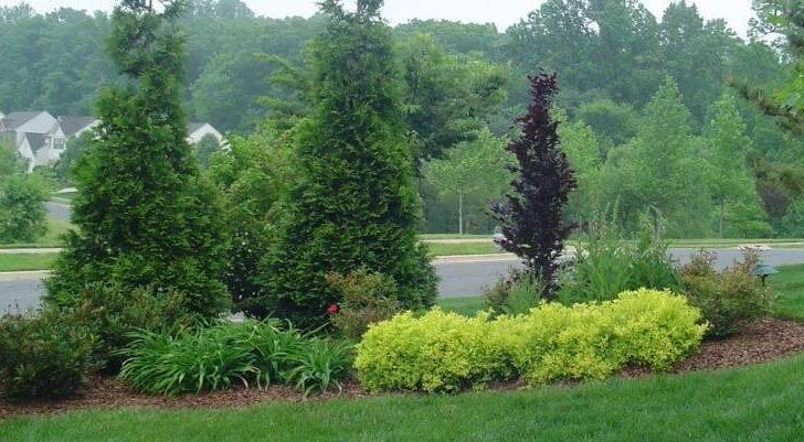 Back Arborvitae Landscaping