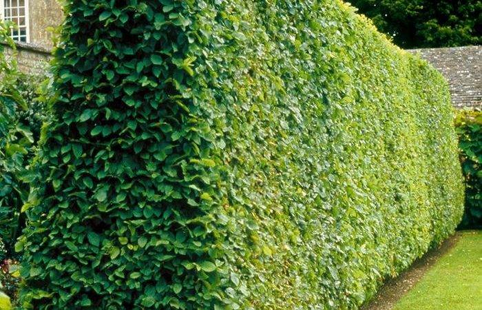 Back Privacy Hedges Types