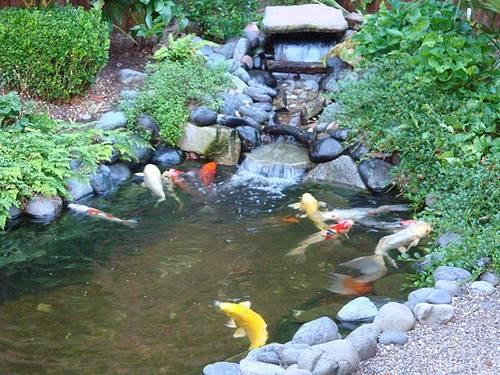 Backyard Fish Pond Philippines Koi