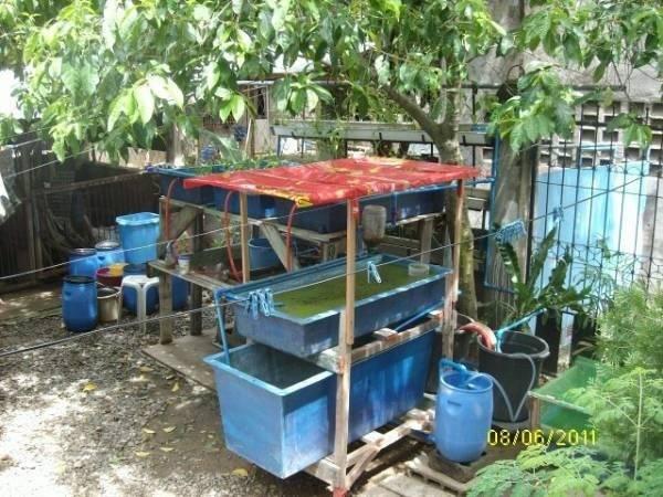 Backyard Production Fish Vegetables Offer Cebu Philippines
