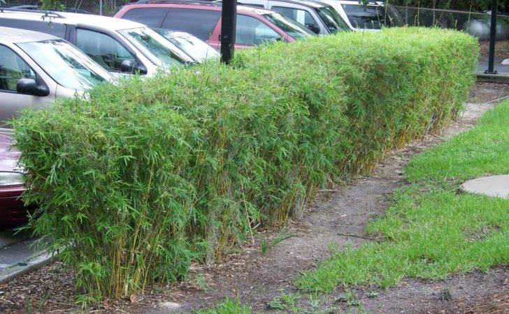 Bamboo Hedge Mission Inn