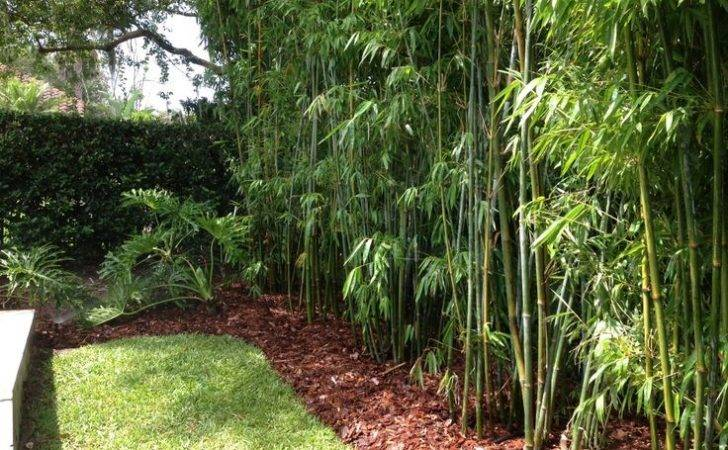 Bamboo Hedge Pool Google Search Ideas Yard Pinterest