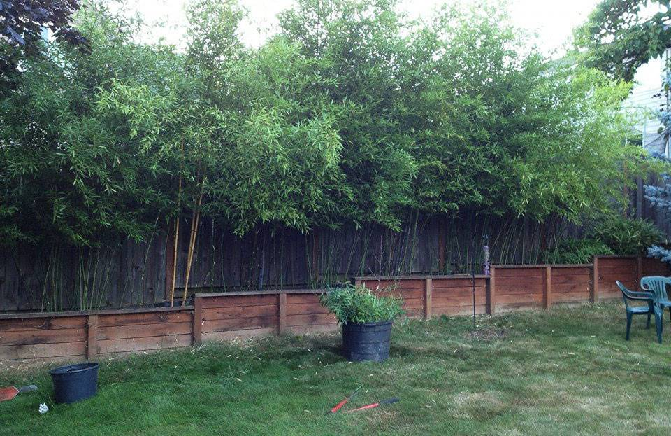 Bamboo Oasis Privacy Hedge Installations