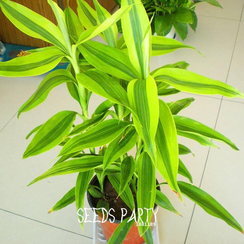 Bamboo Plants Radiation Absorption Stem Plant Seeds Yhl China