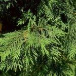 Beechwood Landscape Architecture Construction Leyland Cypress