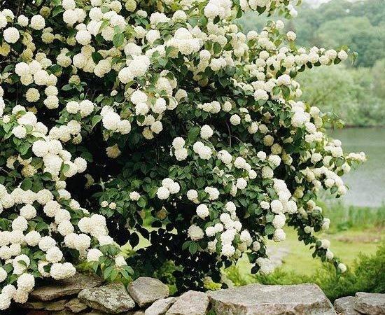 Best Flowering Shrubs Hedges Snowball Viburnum Backyard Privacy