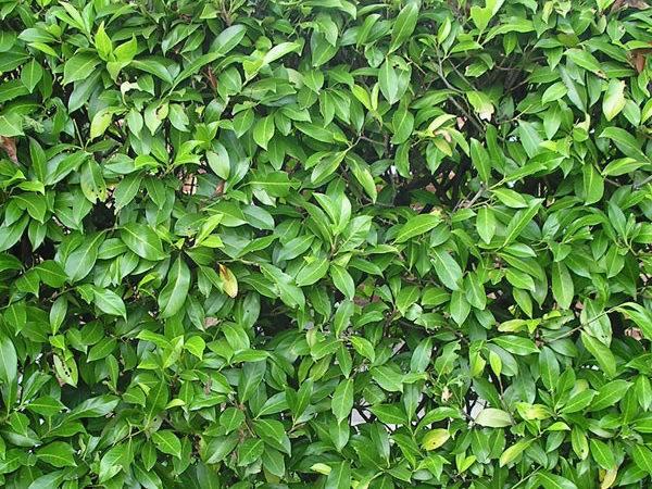 Best Hedge Plants Florida Springreachnursery