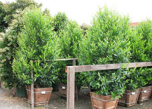 Best Hedge Plants Privacy Privets Make