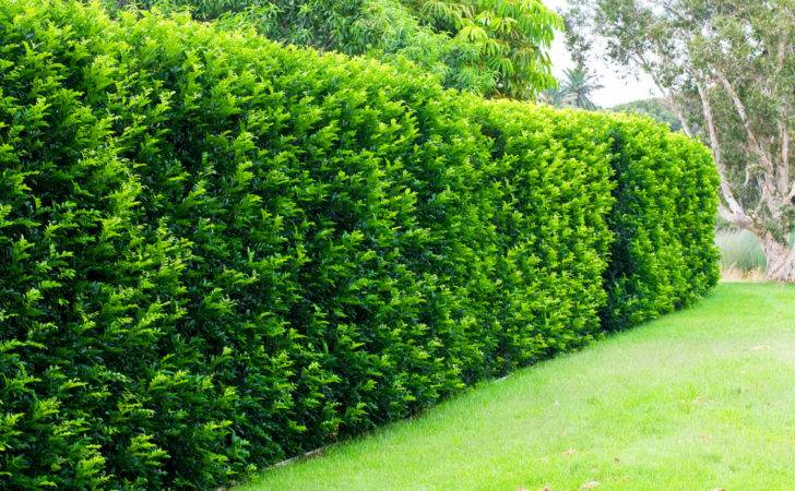 Best Hedges Creating Privacy