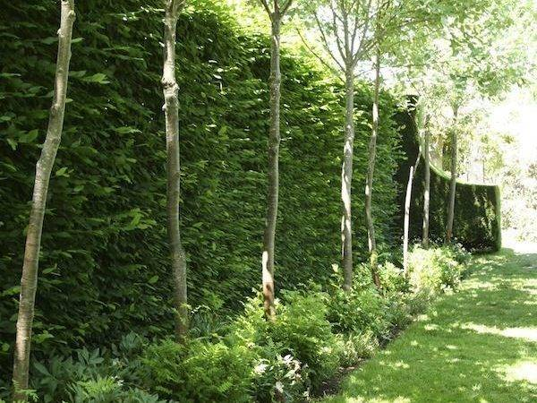 Best Ideas Privacy Trees Pinterest Landscaping