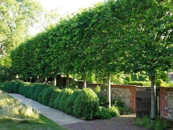 Best Ideas Privacy Trees Pinterest