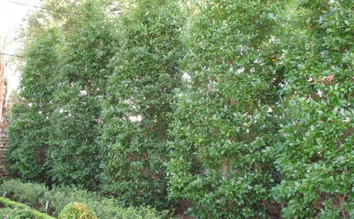Best Plants Privacy Hedges Plant Guide Ilex Attenuata