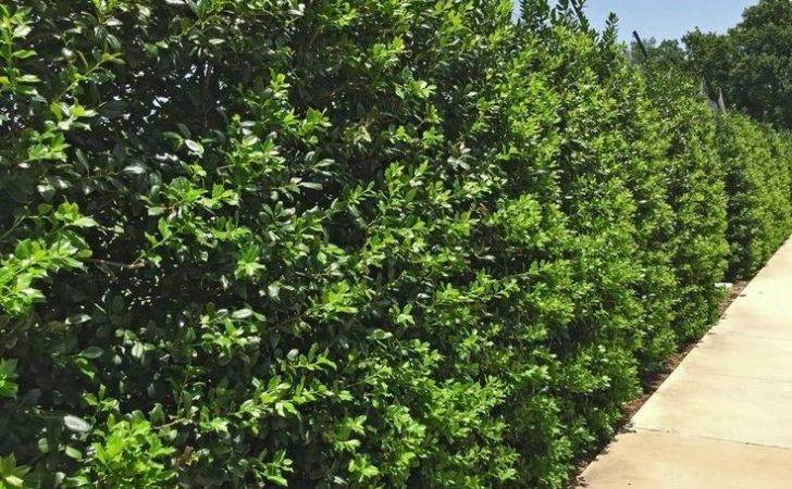 Best Plants Privacy Screening Trees Landscaping