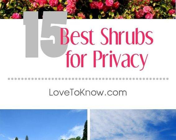 Best Shrubs Privacy Grow Densely Require Little Maintenance