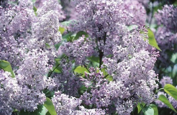 Best Shrubs Privacy Persian Lilacs Fences