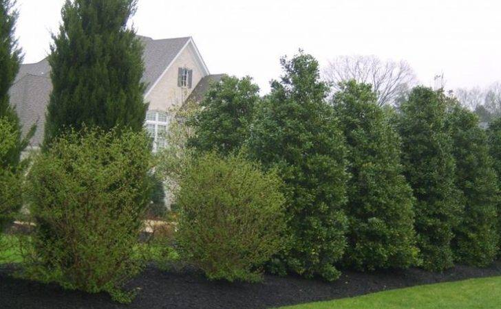 Best Yard Plants Privacy Good Trees Green