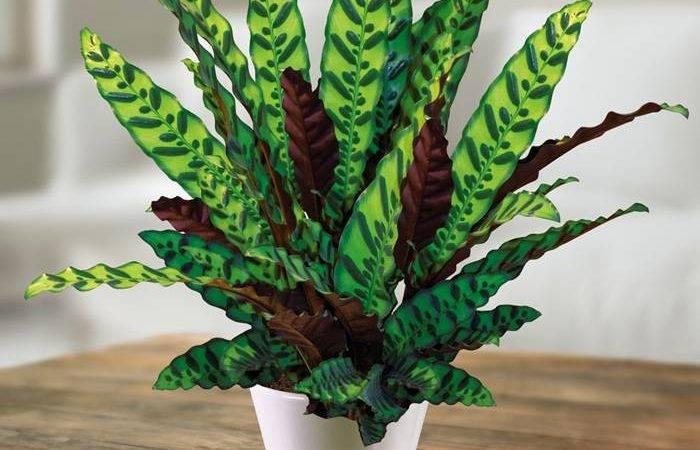 Calathea Lancifolia Evergreens Turn Tropical