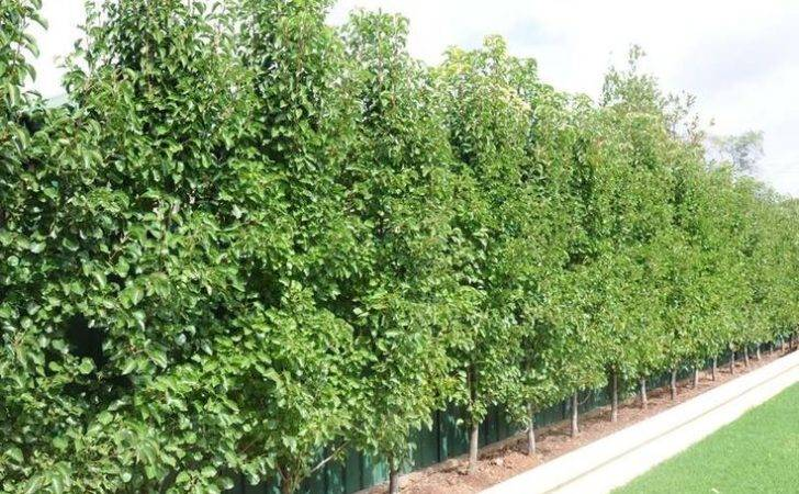 Capital Hedges Screens Privacy Garden Ideas Screen Trees
