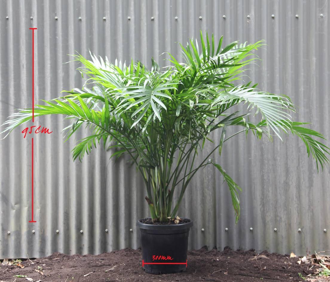 Cascade Palm Chamaedorea Atroviren Palmland