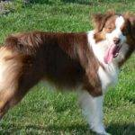 Cedarwood Australian Shepherds Shepherd Tips