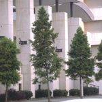 Chicago Illinois Landscaping Buy Bald Cypress Trees