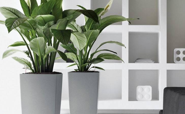 Choose Including Aloe Vera Peace Lily Money Plant Rubber