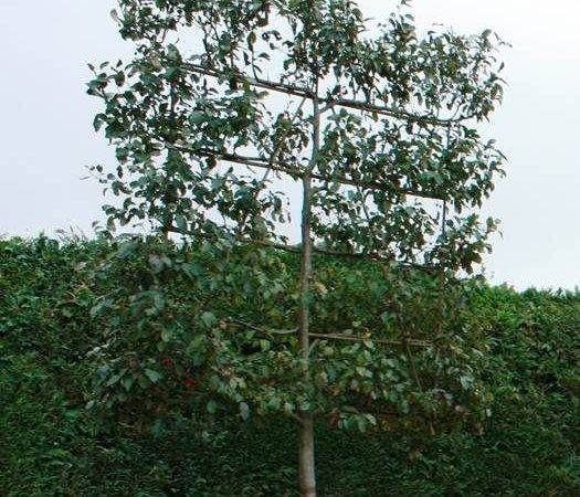 Choosing Hedging Screening Trees Tips Advice Big Plant