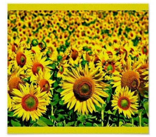 Color Yellow Therapy Helianthus