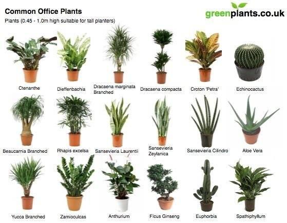 Common Office Plants Greenplants
