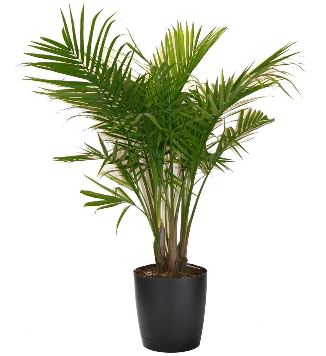 Costa Farms Majesty Palm Houseplant