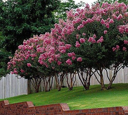 Crepe Myrtle Pruning Tips Southern Living