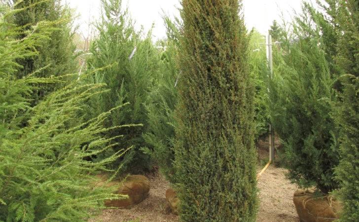Dammann Evergreen Tree List Dammanns