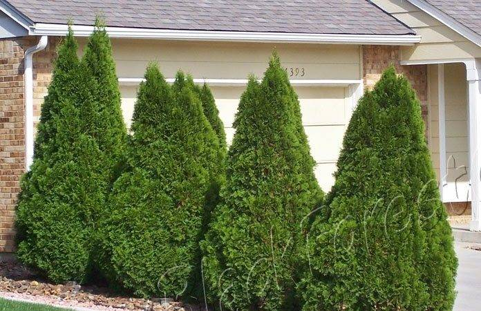 Denver Landscape Plants Arborvitae