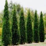 Design Choosing Evergreen Shrubs Creating Shaded Areas Garden