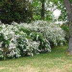 Displaying Privacy Trees Shrubs Fast Growing